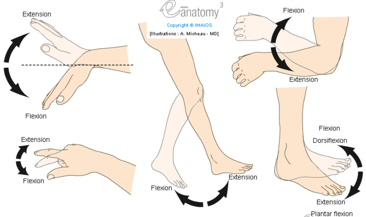 Flexion / Extension - Plantar flexion / Dorsiflexion (Human anatomy : Movements) : Diagram - Illustrations: A. Micheau - MD, e-anatomy, Imaios