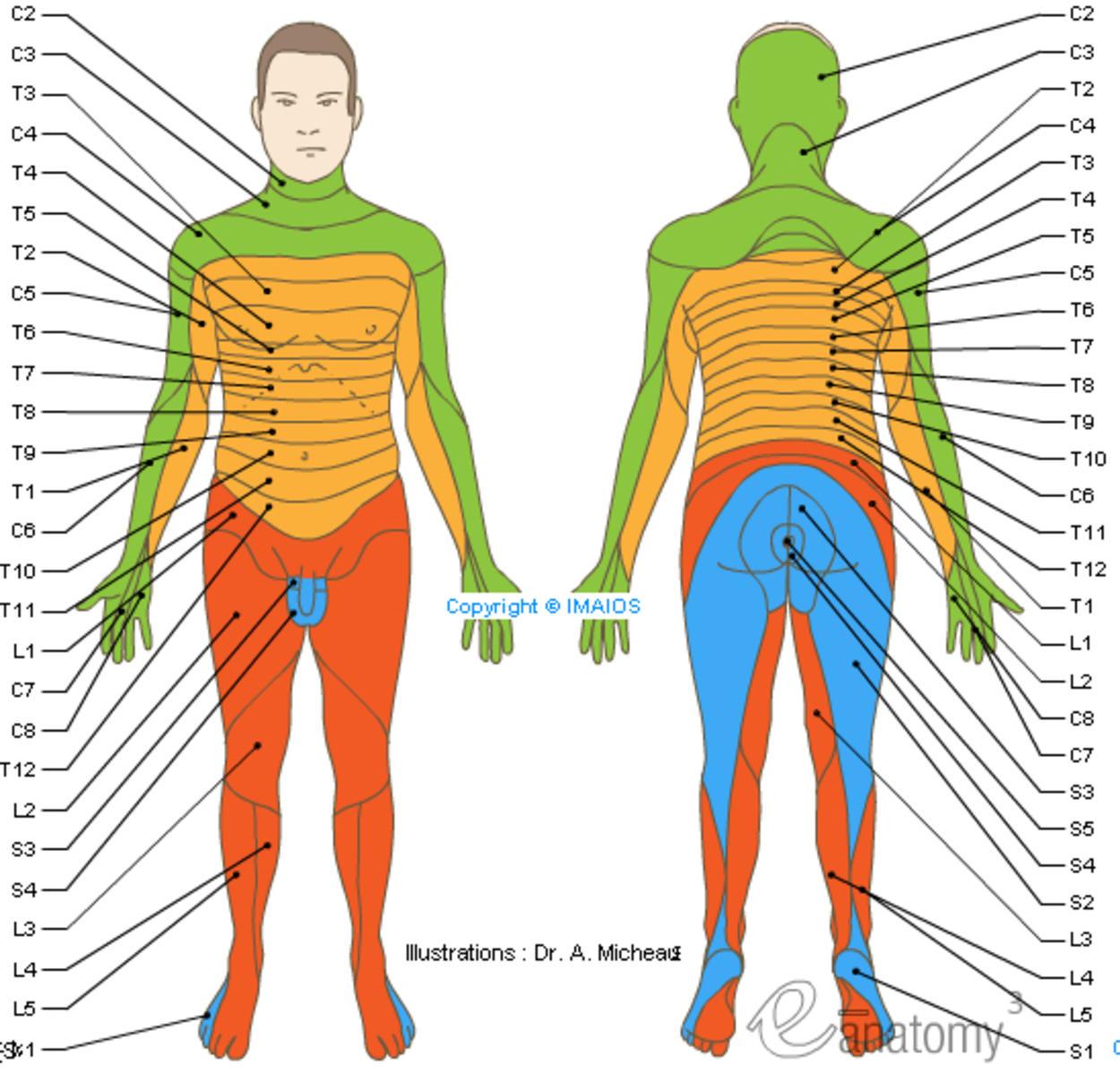 Dermatomes - Spinal nerves : C1 C2 C3 C4 C5 C6 C7 C8 Co L1 L2 L3 L4 L5 ...