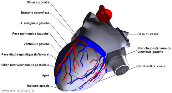 Schema artere coronaire