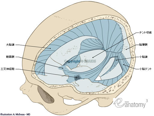 Meninges - Cranial dura mater : Gross anatomy - Illustrations: A. Micheau - MD : Cranial dura mater,  Cerebral falx,  Cerebellar tentorium,  Tentorial notch; Incisura of tentorium,  Falx cerebelli; Cerebellar falx,  Diaphragma sellae; Sellar diaphragm,  Trigeminal cavity, Pachymeninx; Dura mater