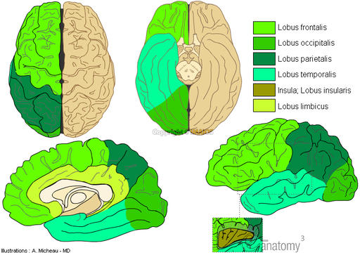 Neuroanatomy : Cerebral lobes : Frontal lobe, Parietal lobe, Occipital lobe, Temporal lobe, Insula; Insular lobe, Limbic lobe, Brain,  Anatomy diagram