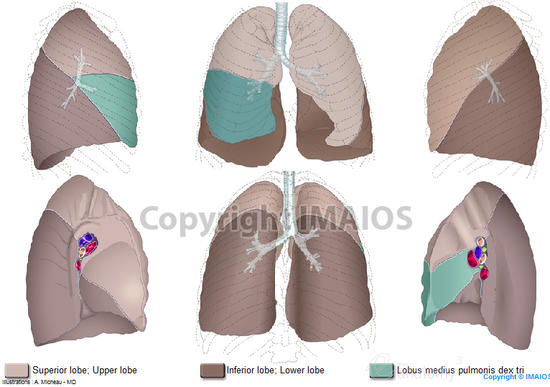 Hilum of lung - Root of lung - Superior lobe; Upper lobe - Lingula of left lung - Middle lobe of right lung - Inferior lobe; Lower lobe