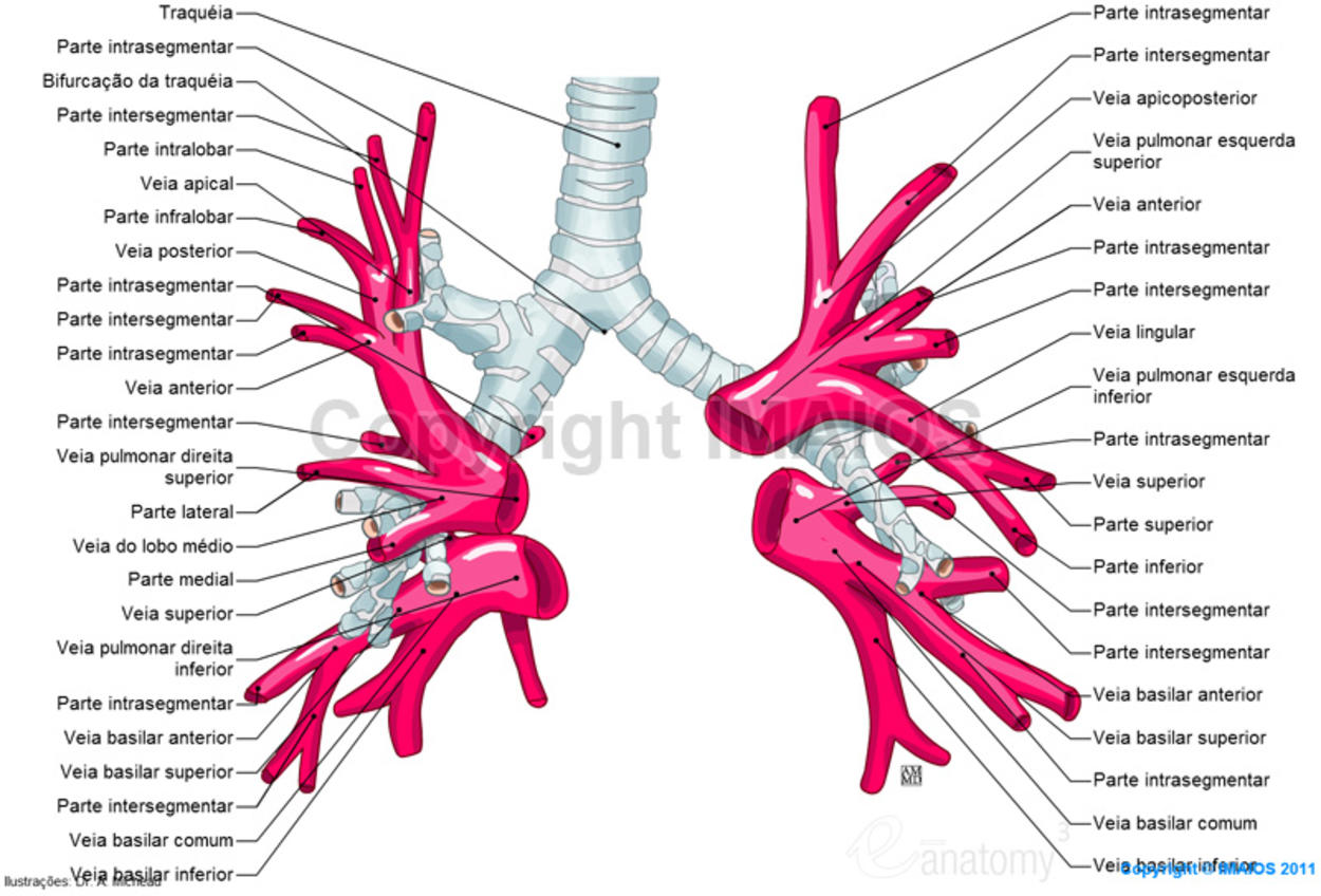 Pulmonary veins : Right superior pulmonary vein, Right inferior pulmonary vein, Left superior pulmonary vein, Left inferior pulmonary vein.
