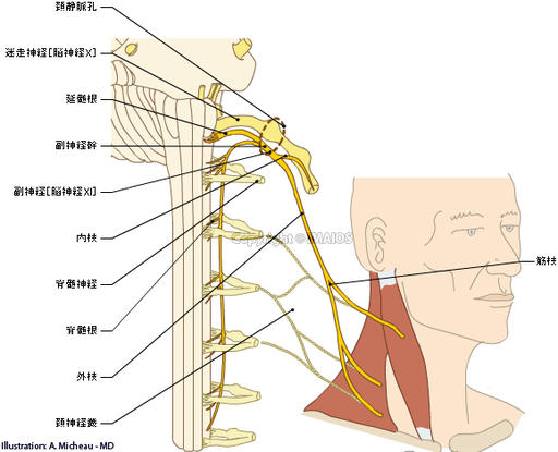 Accessory nerve [XI] - Human anatomy (Drawings : Imaios/E-anatomy) : Cranial root; Vagal part,  Spinal root; Spinal part,  Trunk of accessory nerve,  Internal branch,  External branch,  Muscular branches