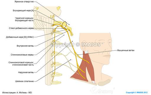 Imaios/E-anatomy