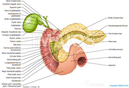 Pancreas - Duodenum - Gallbladder - Pancreatic duct