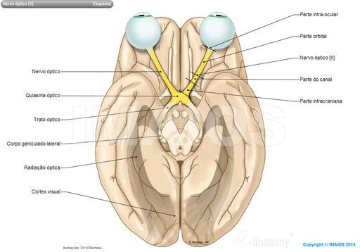 Visual system: Optic nerve [II], Optic tract, Optic chiasma