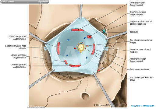 Fascial sheath of eyeball (Tenon) - Orbital cavity