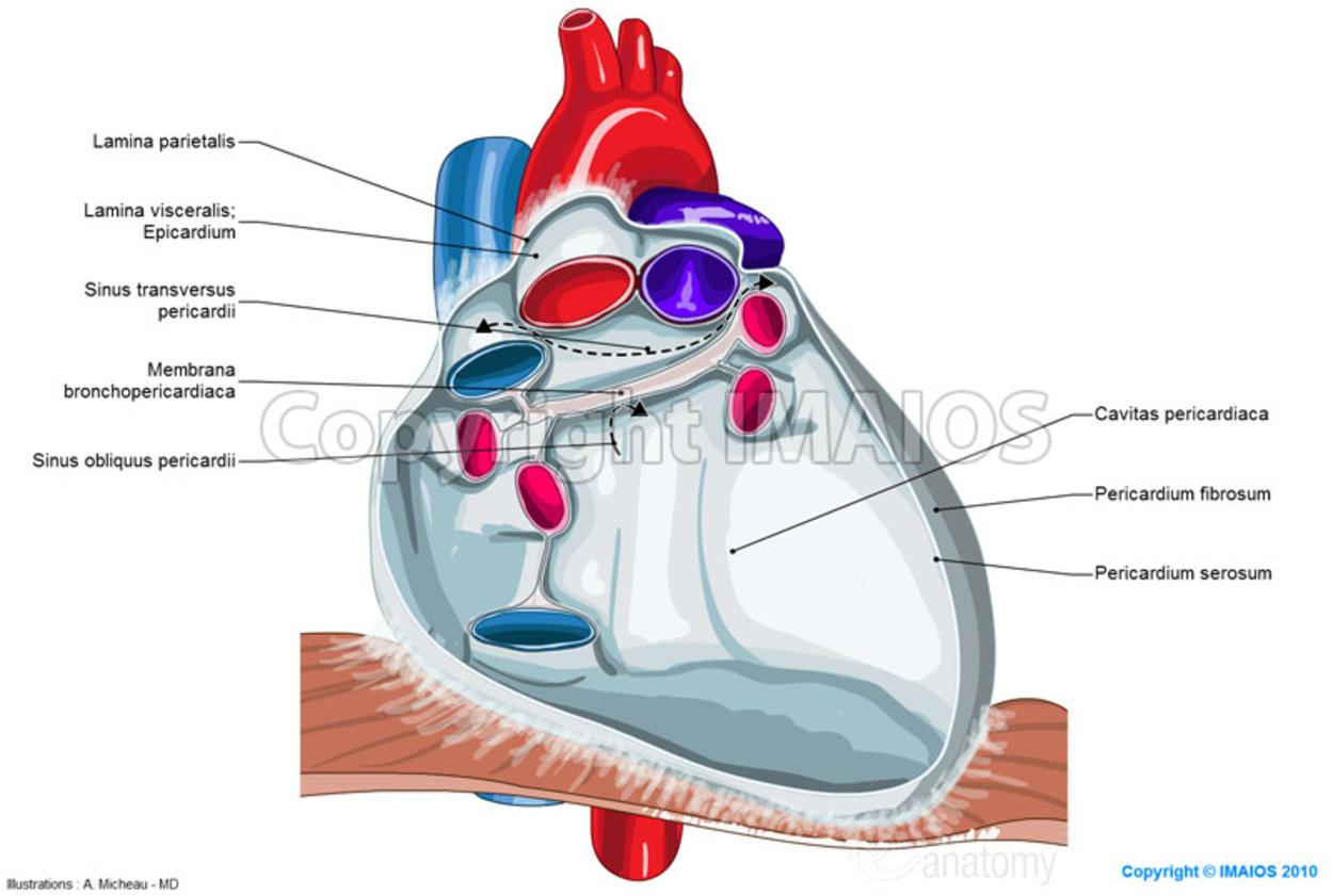 Anatomy Of The Pericardium De Medical on Pericardial Cavity Anatomy Of The Pericardium En