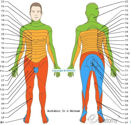 Dermatomes Spinal Nerves C1 C2 C3 C4 C5 C6 C7 C8 Co L1