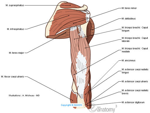 Muscles; Muscular system - Arm - Anatomy (Illustrations) : Supraspinatus, Infraspinatus, Teres major, Teres minor, Deltoid, Triceps brachii, Anconeus