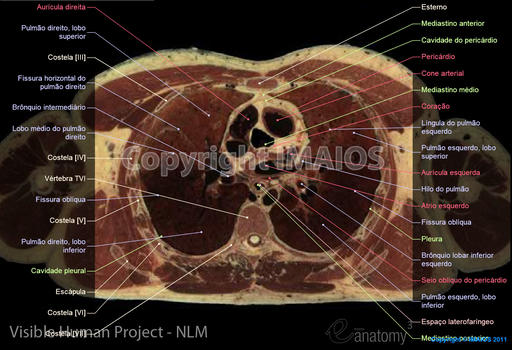 Visible Human Project: Thorax, Lungs, Heart
