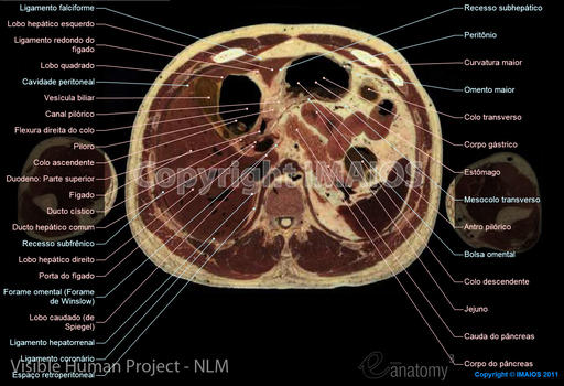 Visible Human Project; Abdomen, Liver, Spleen, Pancreas, Alimentary system